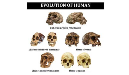 The skulls of various human species