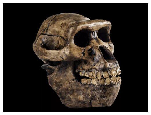 An Australopithecus skull