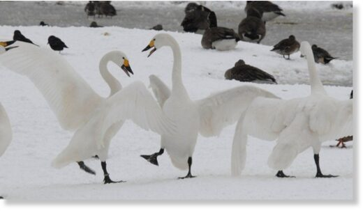 Bewick's swans return to the Arctic tundra in the early spring to mate, having flown to the UK to avoid a harsher winter