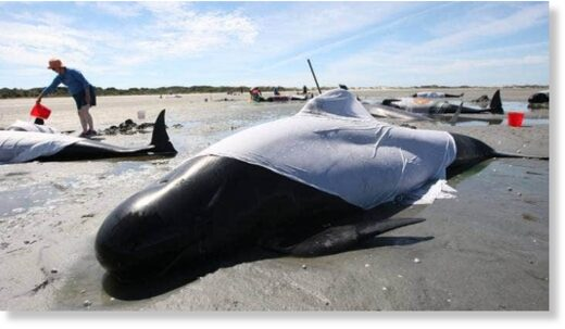 The worst danger to stranded whales is overheating in the sun, as their dark skin and layers of blubber work to trap heat.