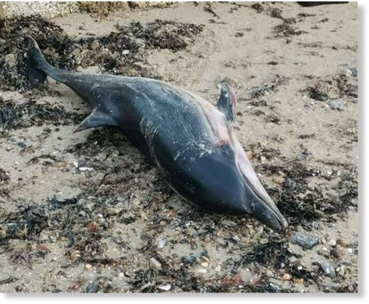 A striped dolphin has been found in Minnis Bay