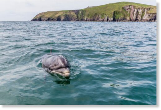 Missing: Fungie the dolphin, who has lived for decades near the Dingle Peninsula, Co Kerry, is 'more likely' to have died.