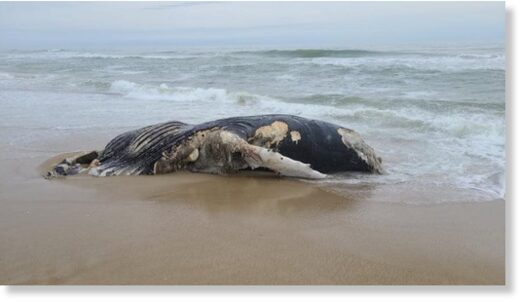 The remains of the whale washed up Thursday
