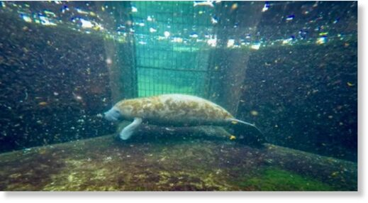 Baby manatee Lativa is recovering from severe exposure to brevetoxins, which affect the nervous system -- she is one of the lucky animals to survive a crisis affecting the gentle marine mammals in Florida
