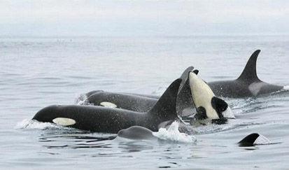 Graban a una manada de orcas durante horas frente a las costas de Tenerife